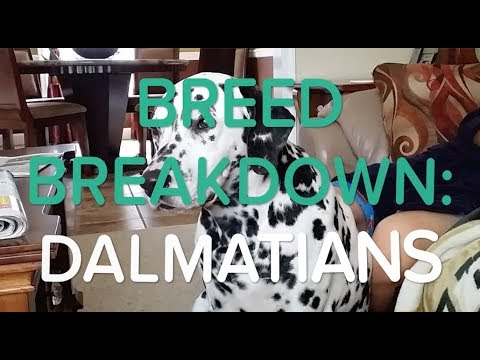 BREED BREAKDOWN: DALMATIANS 🐶