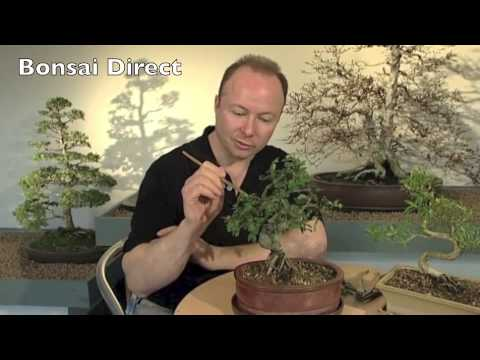 Bonsai DVD 1 Chapter 7 - Basic Bonsai Pruning