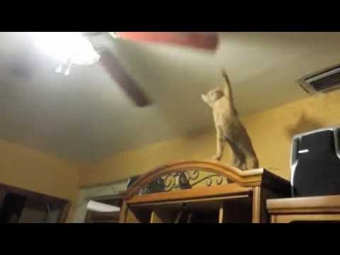 Cat and Ceiling Fan - YouTube