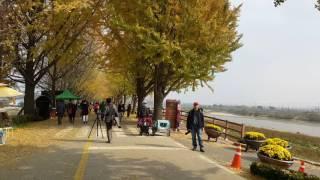 牙山市曲橋川銀杏路(2)