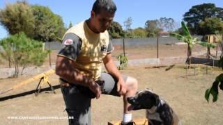 Adestrando American Staffordshire Terrier - Cantadeiros Kennel
