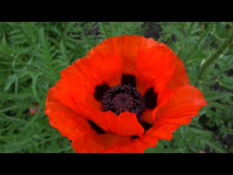 Восточный мак. Красный мак. Цветы в Курске.