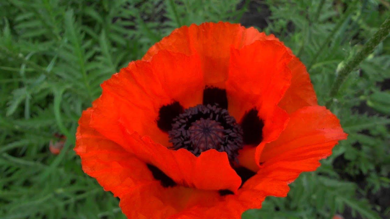 Мак цветы картинки