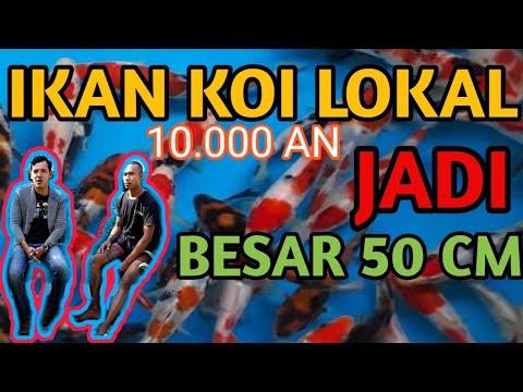IKAN KOI LOKAL MURAH 10.000 DI PELIHARA SAMPE JADI BESAR#KOIMURAH#KOIBESAR#KOILOKAL#KOLAMKO