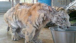 「なんてひどい…」サーカスで虐待されてボロボロの虎。輝ける場所を見つけ美しい姿を取り戻す【感動】 ある日、アメリカのテキサス州にある...