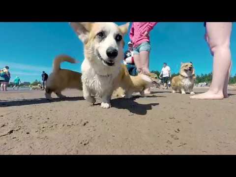 yyterin joulu 2018 Corgien rantapäivä 2018 / Corgi beach day 2018   YouTube yyterin joulu 2018