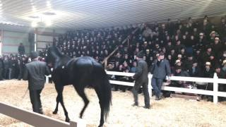 Amish Horse Sale Record Breaking Horse