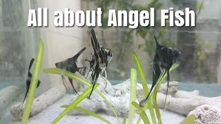 Angel fish all you want to know | angel fish breeding, angel fish info, angel fish gender