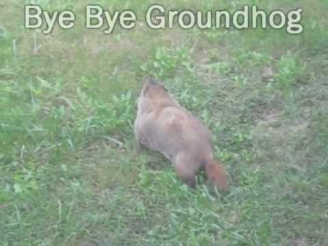 Groundhog inside the Garden Upgrading Fence ground hog in