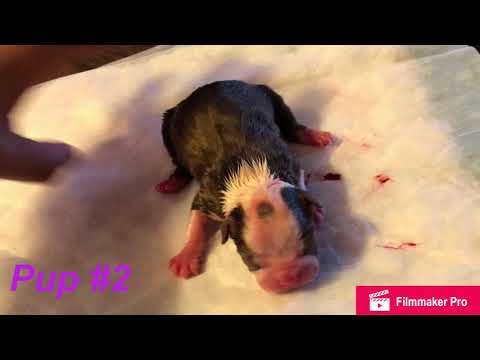 *GRAPHIC* Labor & Delivery of 9 Boston Terrier puppies