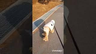설연휴..동네한바퀴 산책중~ (코카스파니엘 코코짱의일상)
