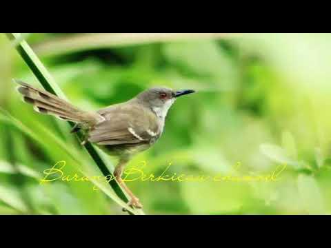 Download Lagu Suara Ciblek Ngebren Cocok Untuk Masteran dan Terapi Pemula