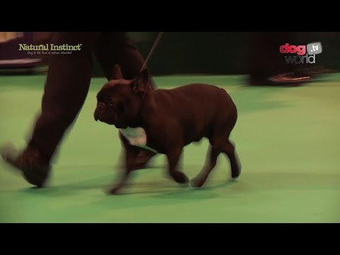 Crufts 2017 - French Bulldog - Best of Breed