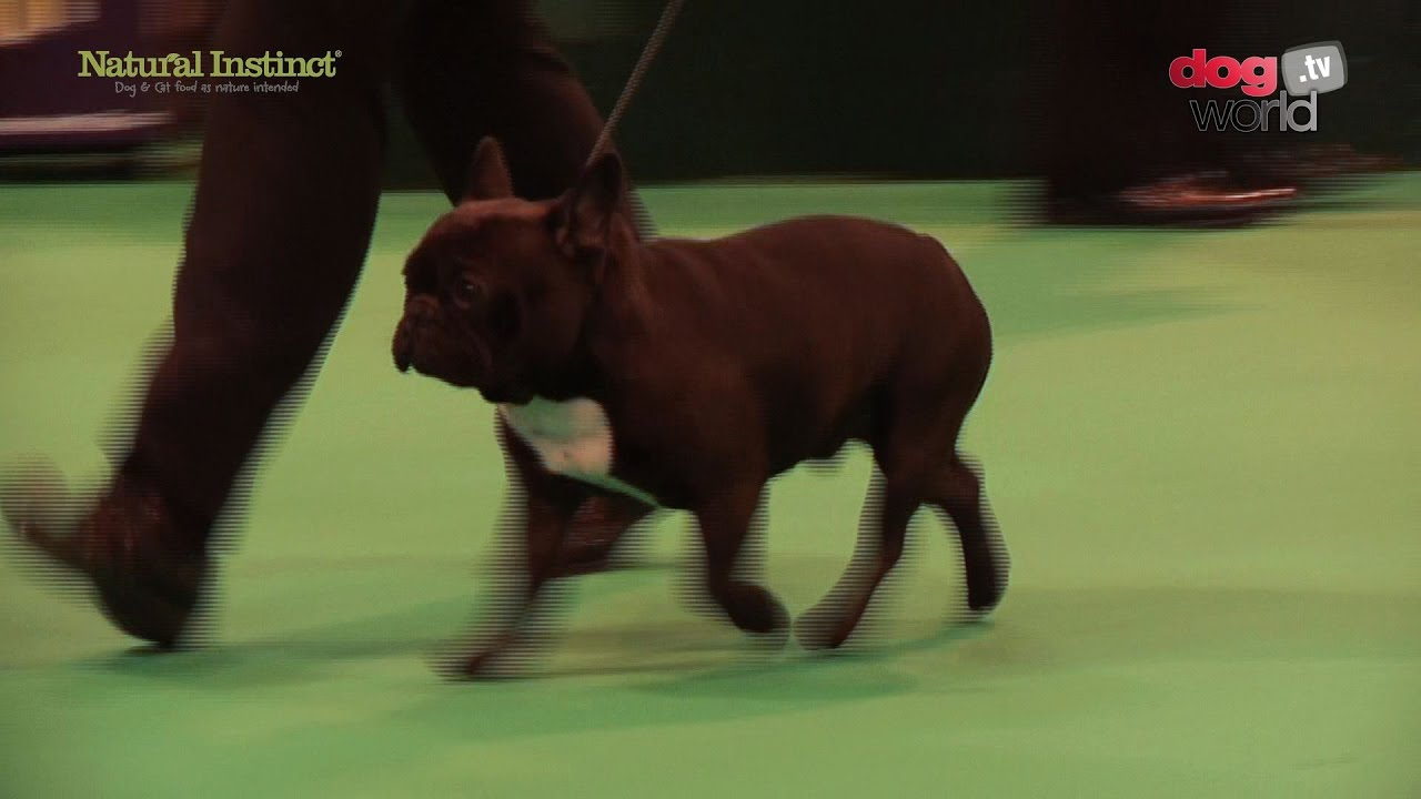 Crufts 2017 French Bulldog Best Of Breed Youtube