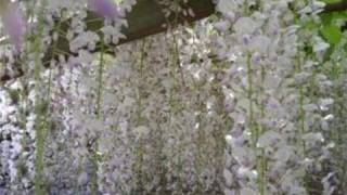 How To Plant Wisteria