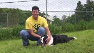 Simple methods of border collie training - How to house train Border Collie Dog