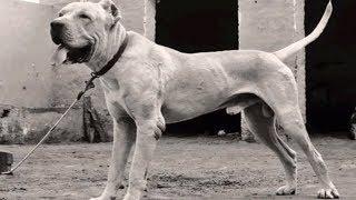 Bully Kutta Dog||Spartan Dog Breed & Full Time Powerful Fighter|| Pakistani Giant  Bully Kutta Breed