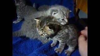 Маленькие котята шотландцы