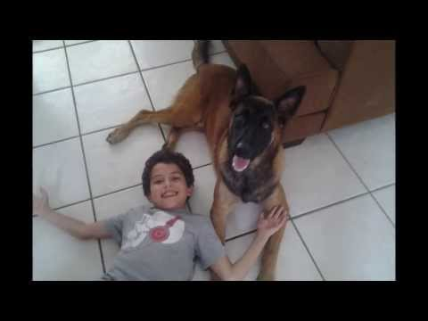 Belgian Malinois 'Max' - The Best Family Protection Dog / Family Dog K9
