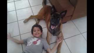 "Belgian Malinois ""max"" - The Best Family Protection Dog / Family Dog K9"