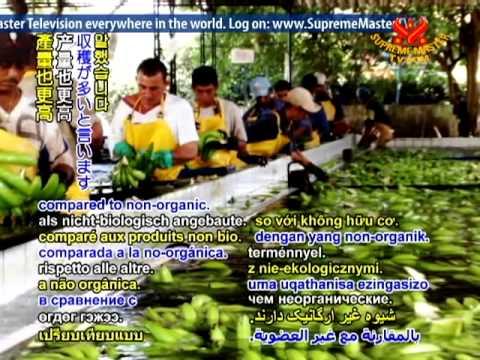 Banana Plantation In Davao Philippines Doovi