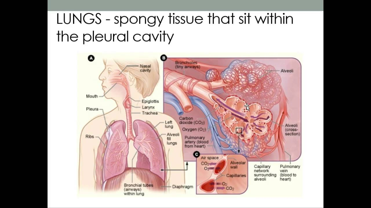 Lungs and Alveoli sacs - YouTube