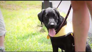 Guide Dog Puppies In Training Go To Class