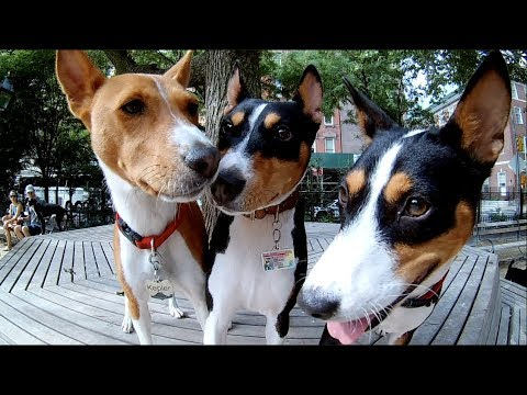 New York City Basenji Gathering - 12 August 2018 - Orson and Hatchet