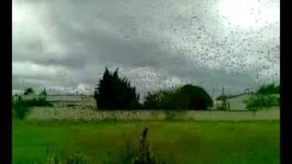 uccelli invadono il cielo di lendinuso, torchiarolo.