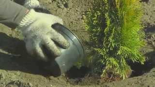 Sadzenie roślin iglastych z uprawy kontenerowej / Szkółka KULAS