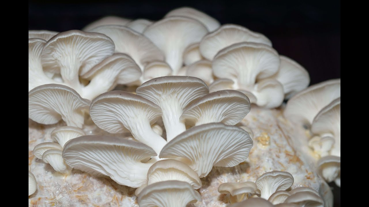 Mushroom cultivation at home 28