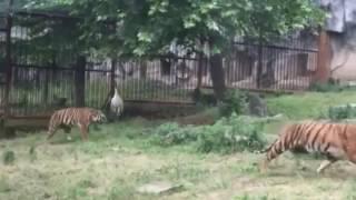 Журавль победил трех тигров в китайском зоопарке