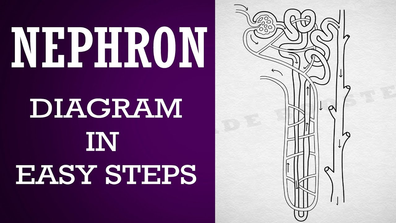 How To Draw Nephron Diagram In Easy Steps 10th Biology Science Cbse Syllabus Ncert Class 10