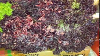 Салат листовой фиолетовый