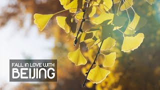 #Fall in Love Beijing – Autumn Leaves Put on a Show