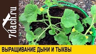 Выращивание дыни и тыквы: как правильно сформировать растение - 7 дач