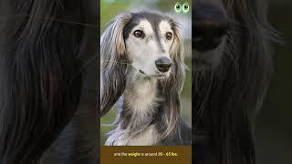 Saluki Dog Breed Guide | Petmoo | #Shorts