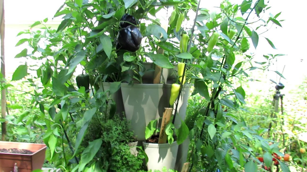 How To Grow 30 Pepper Herb Plants In A 3x3 Foot Space Vertical