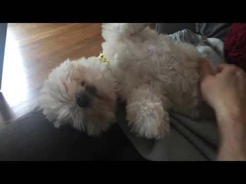 Havanese dog bossy about belly rub
