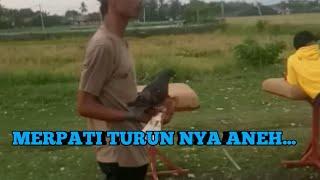 INI BARU MERPATI JABLAY PARAH