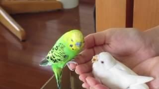 親は、手乗りで 手の上で雛に、餌をやります。 巣箱が汚れたので、プラ...