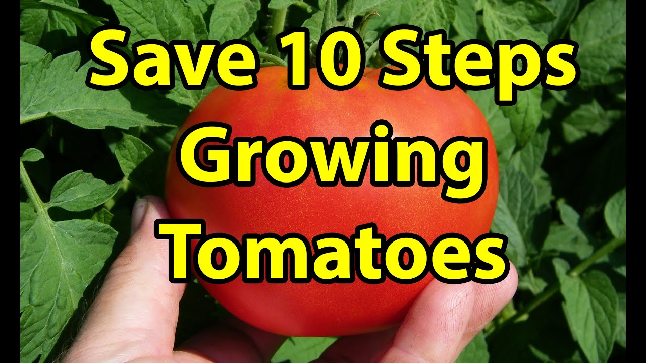 top 10 tips u0026 steps how to grow large healthy organic tomatoes in