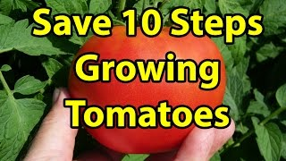 TOP 10 TIPS & STEPS How to Grow Large Healthy Organic Tomatoes in Just Fall Leaves, Gardening 101