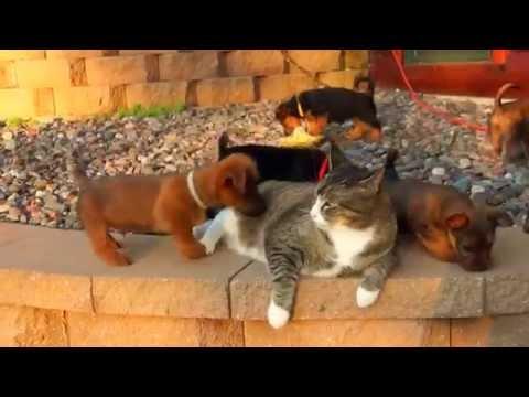 Кот и щенки