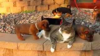 Кот и щенки(Кот и щенки. Маленькие щенки изучая кота уже совсем его замучили. Но он толстый и флегматичный стоически..., 2014-11-17T17:40:59.000Z)