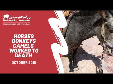 Donkeys, horses and camels are being worked to DEATH! thumbnail
