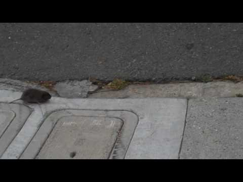 Wildlife in the City: The Voles of San Francisco