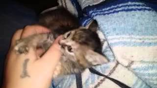 My Kitten Leash Training