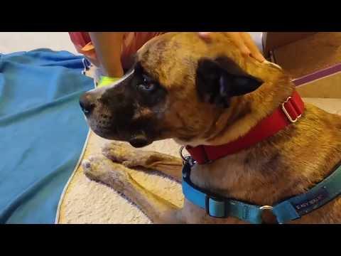 Meet Atlas - Fairfax County Animal Shelter