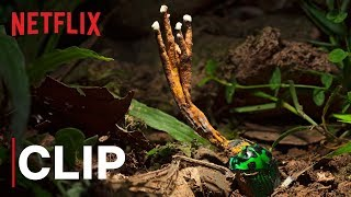 Our Planet | Fungus | Clip | Netflix